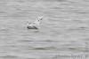 """Bonaparte's Gull <span class=""""spacer_LB_caption""""> • </span> <br> Teal Pond <span class=""""spacer_LB_caption""""> • </span> <br> Riverlands Migratory Bird Sanctuary"""