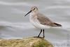 "Dunlin <span class=""spacer_LB_caption""> • </span> <br> Teal Pond <span class=""spacer_LB_caption""> • </span> <br> Riverlands Migratory Bird Sanctuary"