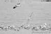 """Bonaparte's and Ring-billed Gulls <span class=""""spacer_LB_caption""""> • </span> <br> Teal Pond <span class=""""spacer_LB_caption""""> • </span> <br> Riverlands Migratory Bird Sanctuary"""