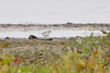 """Piping Plover <span class=""""spacer_LB_caption""""> • </span> <br> below Teal Pond across field <span class=""""spacer_LB_caption""""> • </span> <br> Riverlands Migratory Bird Sanctuary"""