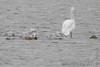 "Bonaparte's Gulls and American Pelican<span class=""spacer_LB_caption""> • </span> <br> Teal Pond <span class=""spacer_LB_caption""> • </span> <br> Riverlands Migratory Bird Sanctuary"