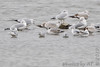 """Franklin's, Bonaparte's and Ring-billed Gulls <span class=""""spacer_LB_caption""""> • </span> <br> Teal Pond <span class=""""spacer_LB_caption""""> • </span> <br> Riverlands Migratory Bird Sanctuary"""