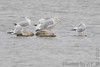 """Herring and Ring-billed Gulls <span class=""""spacer_LB_caption""""> • </span> <br> Teal Pond <span class=""""spacer_LB_caption""""> • </span> <br> Riverlands Migratory Bird Sanctuary"""