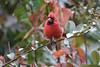 "Northern Cardinal <span class=""spacer_LB_caption""> • </span> <br> Bridgeton, St. Louis County, Missouri  <span class=""spacer_LB_caption""> • </span> <br> 2019-10-26"
