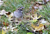 "White-throated Sparrow <span class=""spacer_LB_caption""> • </span> <br> Bridgeton, St. Louis County, Missouri  <span class=""spacer_LB_caption""> • </span> <br> 2019-10-26"
