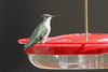 """Ruby-throated Hummingbird  <span class=""""spacer_LB_caption""""> • </span> <br> Front yard feeder  <span class=""""spacer_LB_caption""""> • </span> <br> City of Bridgeton  <span class=""""spacer_LB_caption""""> • </span> <br> St. Louis County, Missouri  <span class=""""spacer_LB_caption""""> • </span> <br> 2019-10-14"""