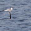 Forster's Tern (2 of 2)<br /> Ellis Bay <br /> Riverlands Migratory Bird Sanctuary