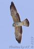 Mississippi Kite (immature)<br /> Alton, Illinois