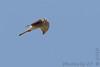 Peregrine Falcon (juvenile)<br /> Alton, Illinois