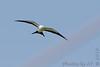 Swallow-tailed Kite <br /> Alton, Illinois