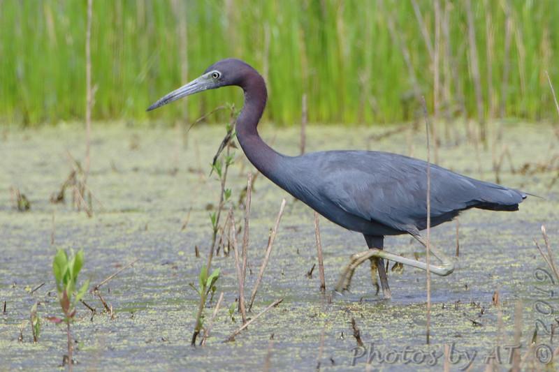 Little Blue Heron <br /> Little Creve Couer Marsh<br /> St. Louis County, Missouri