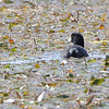 American Coot <br /> Monroe County, Illinois