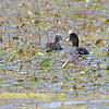 American Coot (juvenile with adult) <br /> Monroe County, Illinois