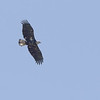 Bald Eagle <br /> Monroe County, Illinois