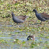 Common Gallinule<br /> Monroe County, Illinois