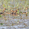 Fulvous Whistling-Ducks <br /> Monroe County, Illinois
