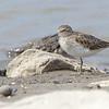 Least Sandpiper <br /> Lincoln Shields Recreation Area <br /> Riverlands Migratory Bird Sanctuary