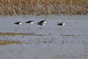 Black-necked Stilts<br /> Hwy H <br /> St Charles County