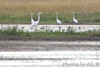 American Avocets and Great Egrets <br /> Intersection of Hwy H and Mertz/Power Roads <br /> St Charles County