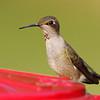 Ruby-throated Hummingbird <br /> Front yard feeder <br /> City of Bridgeton <br /> St. Louis County, Missouri <br /> 2019-09-05