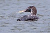 """Yellow-billed Loon <span class=""""spacer_LB_caption""""> • </span> <br> Stockton Park Public Use Area <span class=""""spacer_LB_caption""""> • </span> <br> Boat ramp  <span class=""""spacer_LB_caption""""> • </span> <br> Stockton Lake <span class=""""spacer_LB_caption""""> • </span> <br> Cedar County, Missouri"""