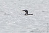 """Yellow-billed Loon (1st photo) <span class=""""spacer_LB_caption""""> • </span> <br> Stockton Park Public Use Area <span class=""""spacer_LB_caption""""> • </span> <br> Boat ramp  <span class=""""spacer_LB_caption""""> • </span> <br> Stockton Lake <span class=""""spacer_LB_caption""""> • </span> <br> Cedar County, Missouri<br> 2020-04-23 09:50:15 <br> <b>No. 352 on my Lifetime List of Bird Species <br> Photographed in Missouri.</b>"""