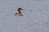 """Red-breasted Merganser <span class=""""spacer_LB_caption""""> • </span> <br> Stockton Park Public Use Area <span class=""""spacer_LB_caption""""> • </span> <br> Boat ramp  <span class=""""spacer_LB_caption""""> • </span> <br> Stockton Lake <span class=""""spacer_LB_caption""""> • </span> <br> Cedar County, Missouri"""