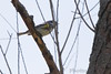 """Yellow-rumped Warbler <span class=""""spacer_LB_caption""""> • </span> <br> Columbia Bottom Conservation Area   <span class=""""spacer_LB_caption""""> • </span> <br> St. Louis County, Missouri"""
