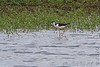 """Black-necked Stilt <span class=""""spacer_LB_caption""""> • </span> <br> Hwy """"H"""" and Mertz Road <span class=""""spacer_LB_caption""""> • </span> <br> St. Charles County"""
