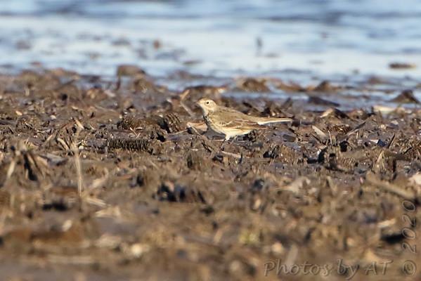 2020-02-29 Riverlands Migratory Bird Sanctuary