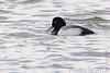 """Lesser Scaup  <span class=""""spacer_LB_caption""""> • </span> <br> Teal Pond   <span class=""""spacer_LB_caption""""> • </span> <br> Riverlands Migratory Bird Sanctuary"""