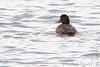 "Lesser Scaup (female)  <span class=""spacer_LB_caption""> • </span> <br> Teal Pond   <span class=""spacer_LB_caption""> • </span> <br> Riverlands Migratory Bird Sanctuary"