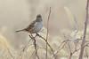 "White-crowned Sparrow   <span class=""spacer_LB_caption""> • </span> <br> Behind the Audubon Center   <span class=""spacer_LB_caption""> • </span> <br> Riverlands Migratory Bird Sanctuary"