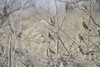"Eurasian Tree Sparrows  <span class=""spacer_LB_caption""> • </span> <br> Behind the Audubon Center  <span class=""spacer_LB_caption""> • </span> <br> Riverlands Migratory Bird Sanctuary"