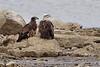 """Bald Eagles  <span class=""""spacer_LB_caption""""> • </span> <br> Ellis Bay  <span class=""""spacer_LB_caption""""> • </span> <br> Riverlands Migratory Bird Sanctuary"""