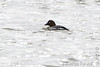 "Common Goldeneye (female)  <span class=""spacer_LB_caption""> • </span> <br> Teal Pond   <span class=""spacer_LB_caption""> • </span> <br> Riverlands Migratory Bird Sanctuary"