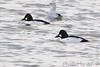 """Common Goldeneye  and Ring-billed Gull  <span class=""""spacer_LB_caption""""> • </span> <br> Teal Pond   <span class=""""spacer_LB_caption""""> • </span> <br> Riverlands Migratory Bird Sanctuary"""