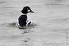 "Common Goldeneye  <span class=""spacer_LB_caption""> • </span> <br> Teal Pond   <span class=""spacer_LB_caption""> • </span> <br> Riverlands Migratory Bird Sanctuary"