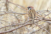 "Eurasian Tree Sparrow   <span class=""spacer_LB_caption""> • </span> <br> Behind the Audubon Center   <span class=""spacer_LB_caption""> • </span> <br> Riverlands Migratory Bird Sanctuary"