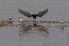 """Least Terns and Black Tern<span class=""""spacer_LB_caption""""> • </span> <br> Riverlands Migratory Bird Sanctuary <span class=""""spacer_LB_caption""""> • </span> <br> Upper Ellis Bay <span class=""""spacer_LB_caption""""> • </span> <br> St. Charles County, Missouri <span class=""""spacer_LB_caption""""> • </span> <br> 2020-07-16"""