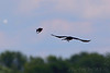 """Red-winged Blackbird and crow sp. <span class=""""spacer_LB_caption""""> • </span> <br> Riverlands Migratory Bird Sanctuary <span class=""""spacer_LB_caption""""> • </span> <br> MId Ellis Bay <span class=""""spacer_LB_caption""""> • </span> <br> St. Charles County, Missouri <span class=""""spacer_LB_caption""""> • </span> <br> 2020-07-16"""