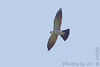 """Mississippi Kite <span class=""""spacer_LB_caption""""> • </span> <br> Little Creve Couer Marsh<span class=""""spacer_LB_caption""""> • </span> <br> St. Louis County, Missouri"""