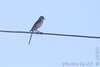 """Northern Mockingbird <span class=""""spacer_LB_caption""""> • </span> <br> Intersection of McKelvey and St. Charles Rock Roads <span class=""""spacer_LB_caption""""> • </span> <br> Saw two Western Kingbirds here <span class=""""spacer_LB_caption""""> • </span> <br> City of Bridgeton <span class=""""spacer_LB_caption""""> • </span> <br> St. Louis County"""