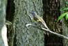 "American Redstart <span class=""spacer_LB_caption""> • </span> <br> Lost Valley Trail  <span class=""spacer_LB_caption""> • </span> <br> Weldon Spring Conservation Area  <span class=""spacer_LB_caption""> • </span> <br> St. Charles County"