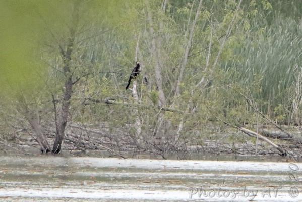 2020-05-10-11 Anhinga - Creve Coeur Marsh