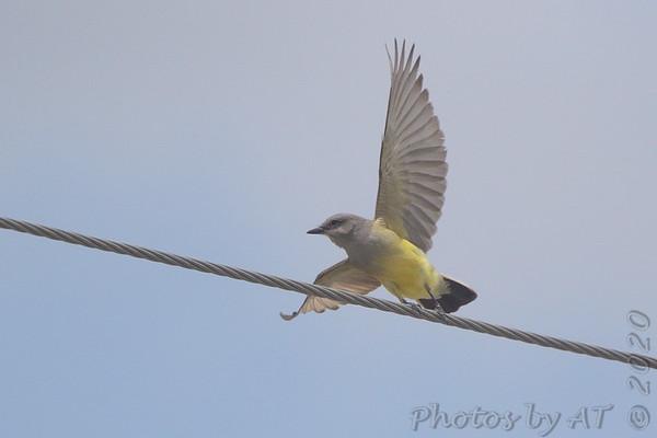 2020-05-26 Western Kingbirds (WEKI)