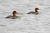 """Red-breasted Mergansers <span class=""""spacer_LB_caption""""> • </span> <br> Ellis Bay  <span class=""""spacer_LB_caption""""> • </span> <br> Riverlands Migratory Bird Sanctuary  <span class=""""spacer_LB_caption""""> • </span> <br> St. Charles County, Missouri"""