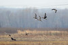 """Greater White-fronted Geese<span class=""""spacer_LB_caption""""> • </span> <br> Riverlands Migratory Bird Sanctuary  <span class=""""spacer_LB_caption""""> • </span> <br> St. Charles County, Missouri"""