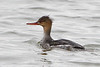 """Red-breasted Merganser <span class=""""spacer_LB_caption""""> • </span> <br> Ellis Bay  <span class=""""spacer_LB_caption""""> • </span> <br> Riverlands Migratory Bird Sanctuary  <span class=""""spacer_LB_caption""""> • </span> <br> St. Charles County, Missouri"""