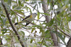 """American Redstart  <span class=""""spacer_LB_caption""""> • </span> <br> Riverwoods Park and Trail  <span class=""""spacer_LB_caption""""> • </span> <br> (Riverwoods Conservation Area)  <span class=""""spacer_LB_caption""""> • </span> <br> West end of St. Charles Rock Road  <span class=""""spacer_LB_caption""""> • </span> <br> City of Bridgeton  <span class=""""spacer_LB_caption""""> • </span> <br> St. Louis County, Missouri"""